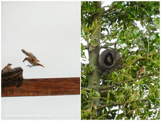 Horneros construyendo su nido - Chacra Educativa Santa Lucía