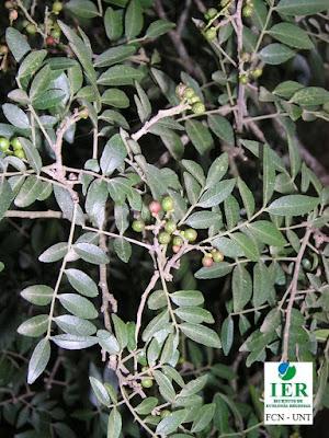 Tembetarí (Zanthoxylum rhoifolium)