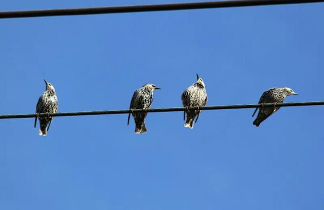 لماذا لا تصعق الكهرباء الطيور عندما تجلس على الكابلات