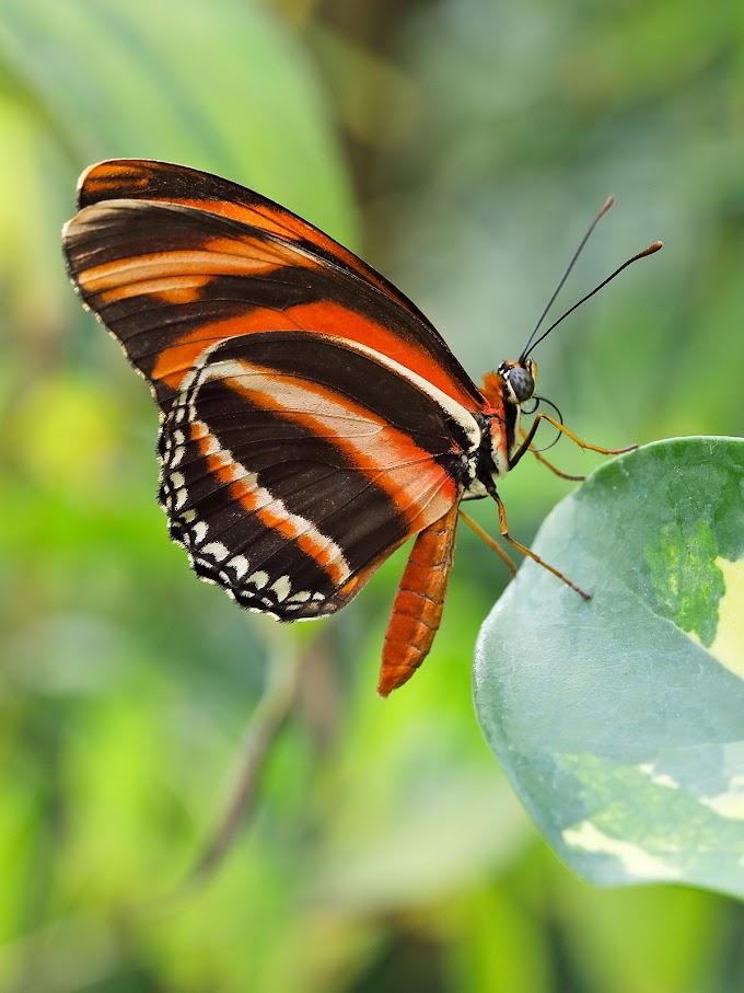 Dryadula phaetusa - Palermo Butterfly House