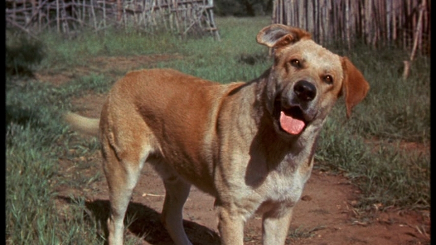 Fess Parker Fan Page: OLD YELLER TRIVIA CHALLENGE: How many of these