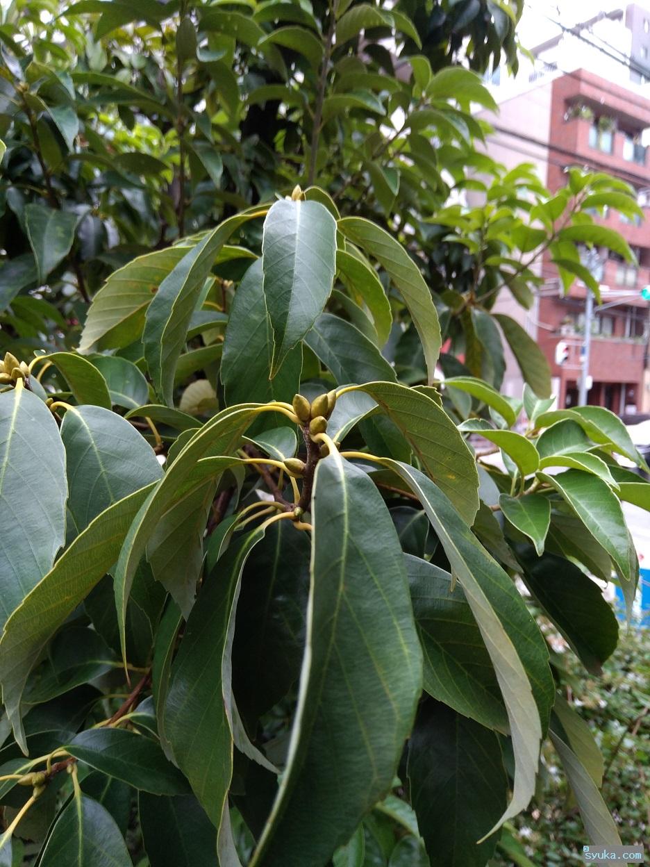 アラカシの芽