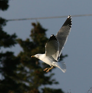 Yellow-legged Gull in flight