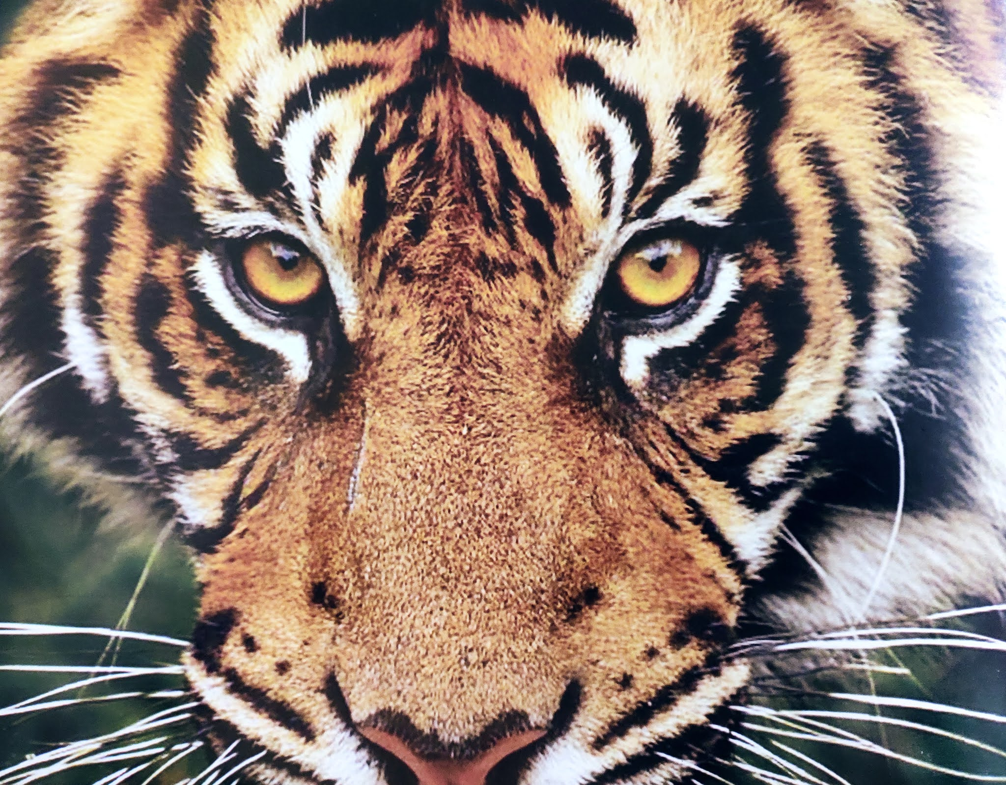 Image contains a tiger