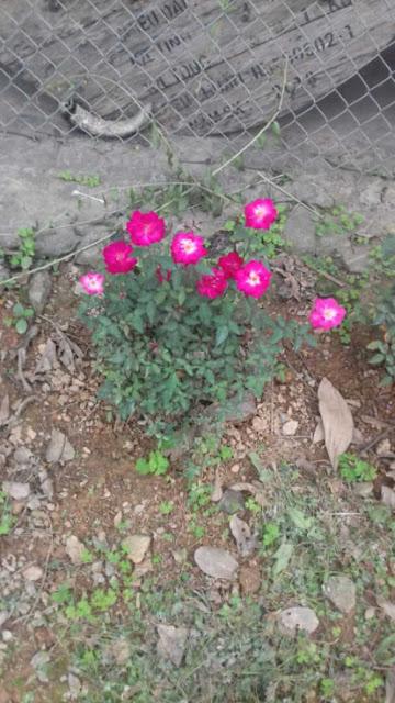 hình ảnh cây hoa hồng quế đơn
