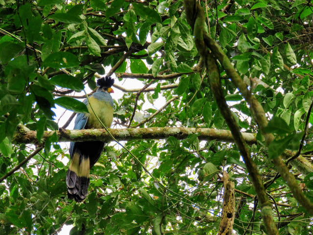 Uganda's blue turaco bird in Bigodi Wetlands