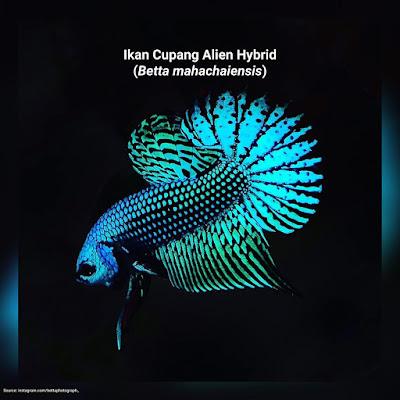 Wallpaper Ikan Cupang Alien