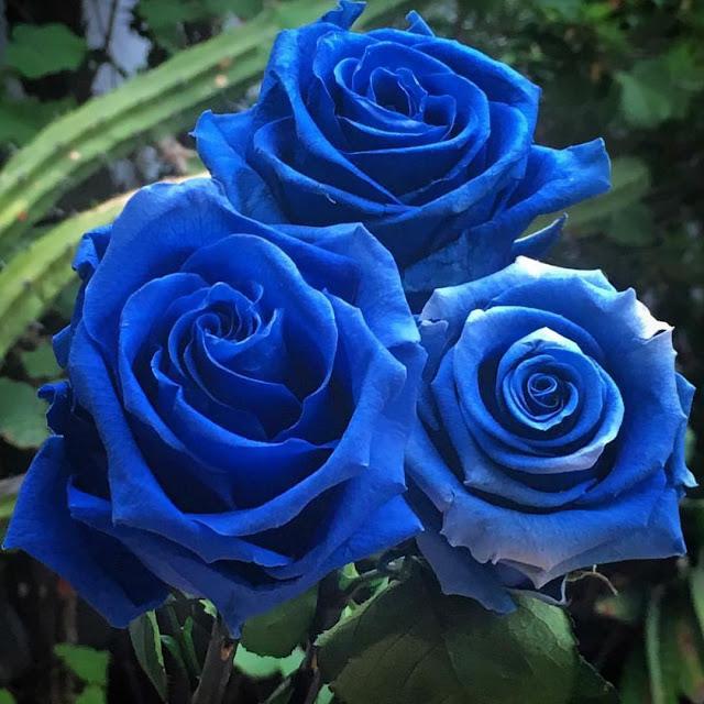 নীল গোলাপ ফুলের ছবি