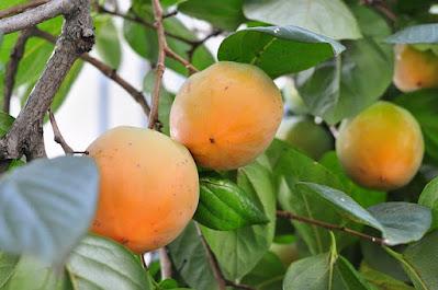 buah kesemek manfaatnya untuk menjaga kesehatan tubuh