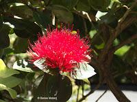 Metrosideros collina - Wellington Botanic Garden, New Zealand