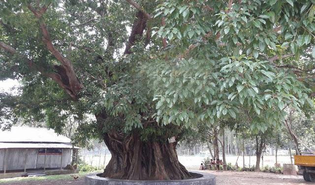 প্রায় ২'শত বছরের কালের সাক্ষী ঘাটাইলের 'অচিন বৃক্ষ'