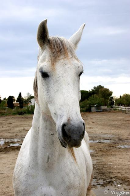 I cavalli Camargue si vedono in tutta la zona anche con un tour in trenino