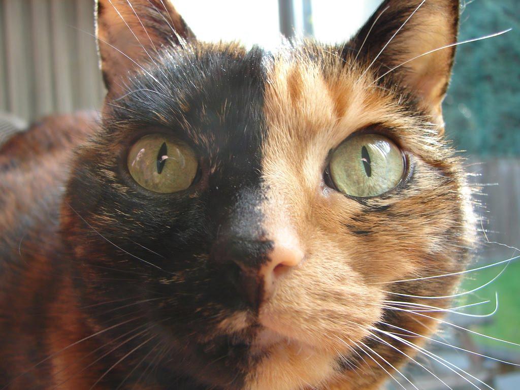 Fifikoussout: Wishlist: Chimera Cat
