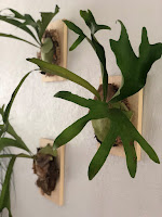A collection of ferns mounted and hanging on a wall. STAGHORN FERNS (Platycerium spp)