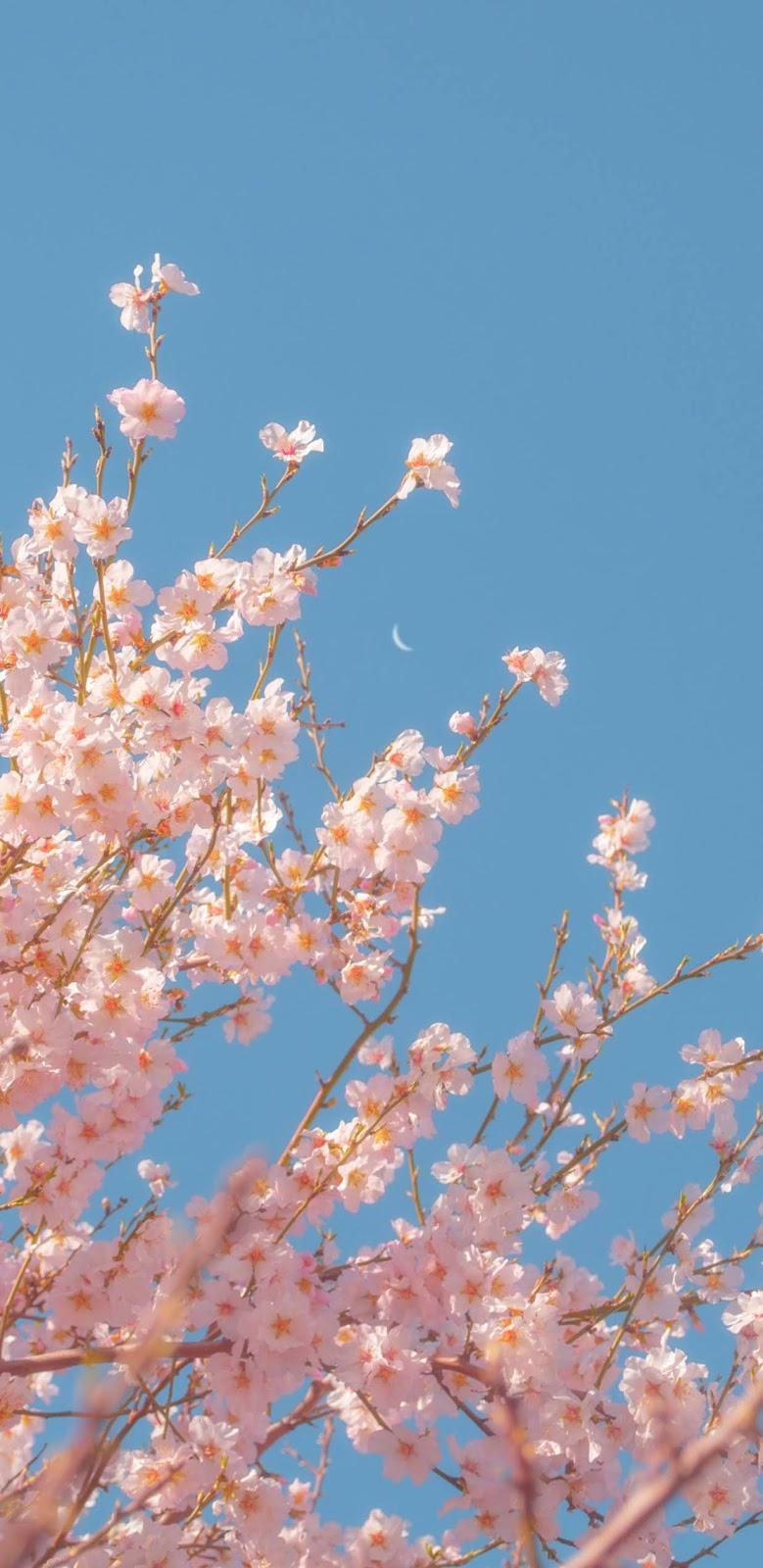 Hoa anh đào giữa bầu trời xanh