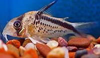 Jenis Ikan Corydoras loxozonus