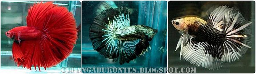 Blogganeh: Jenis Jenis Ikan Cupang Hias