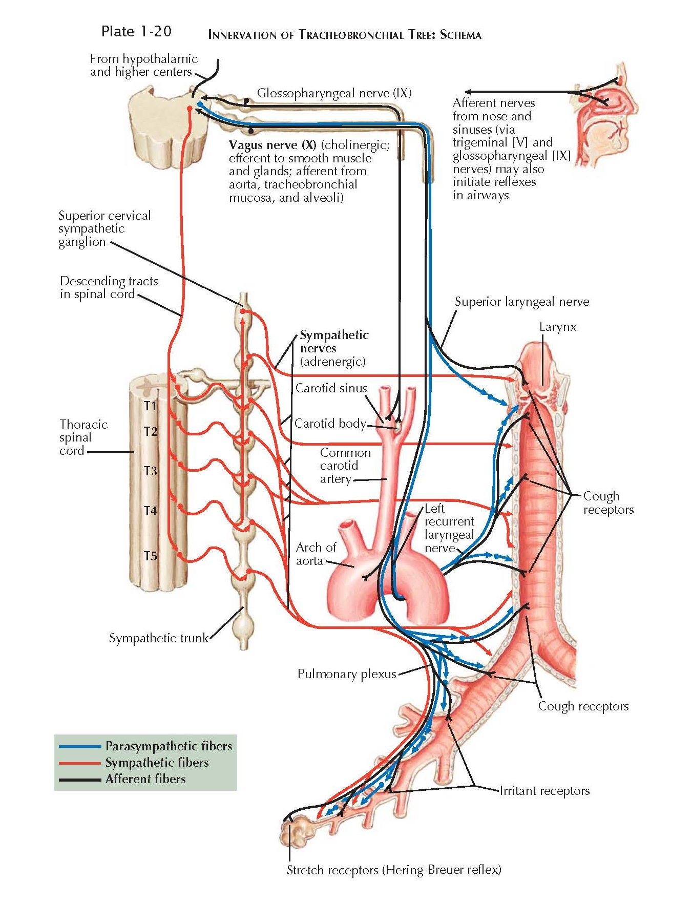 INNERVATION OF TRACHEOBRONCHIAL TREE: SCHEMA