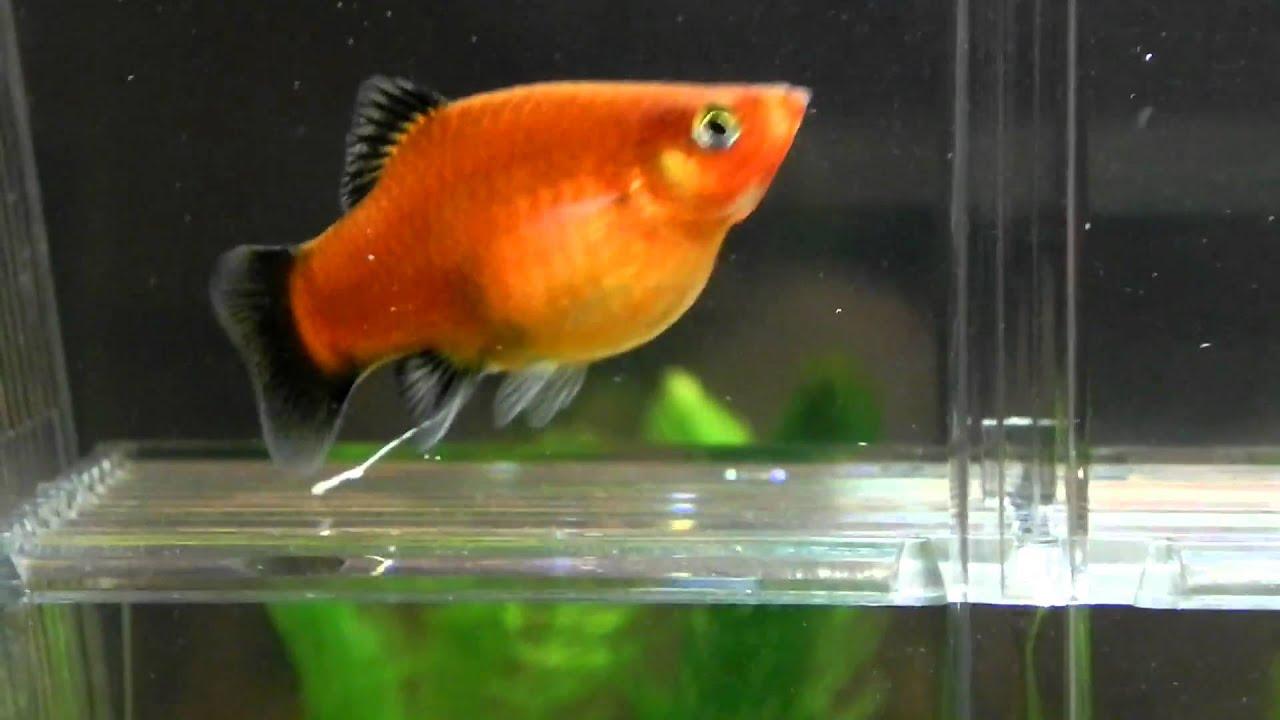 Cara Budidaya Ikan Platy yang Menguntungkan