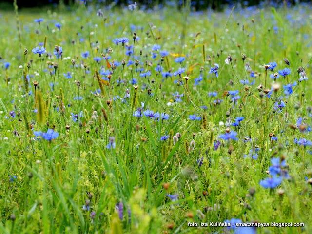 chabry blawatki, kwiaty na lace, modraki, laka kwietna, kwiaty jadalne, lemoniada z platkow chabra blawatka