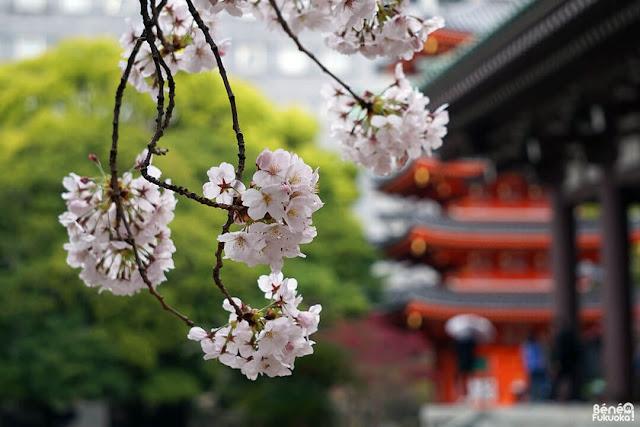 東長寺の桜、福岡