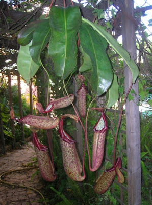 Nepenthes Termostato