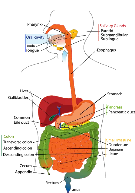 ways of functioning of Digestive System