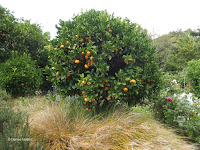 Mandarin orange tree - Te Kainga Marire, New Plymouth, New Zealand