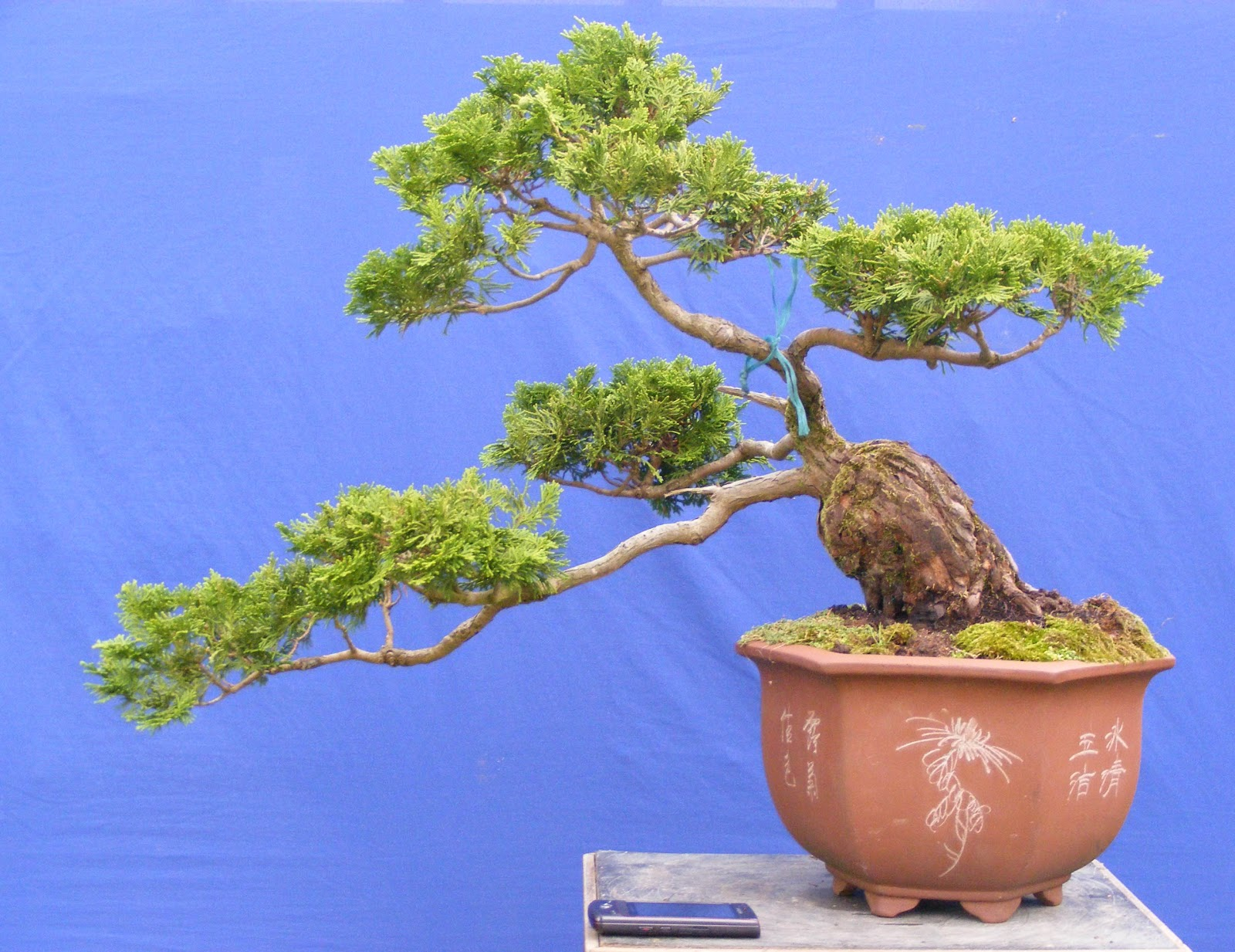 Exotic Plantsbonsai WONOBODRO WAS MIJN DORP