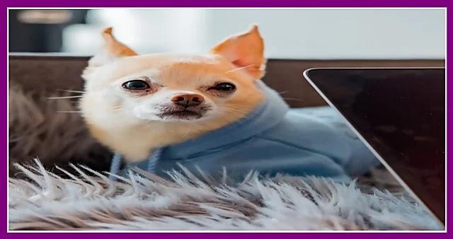 أفضل طريقة لرعاية وتربية كلب الشيواوا