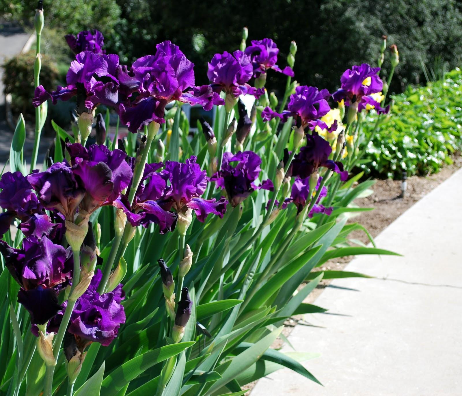 World of irises november 2011 tall bearded iris scoonchee in loiss garden izmirmasajfo Gallery