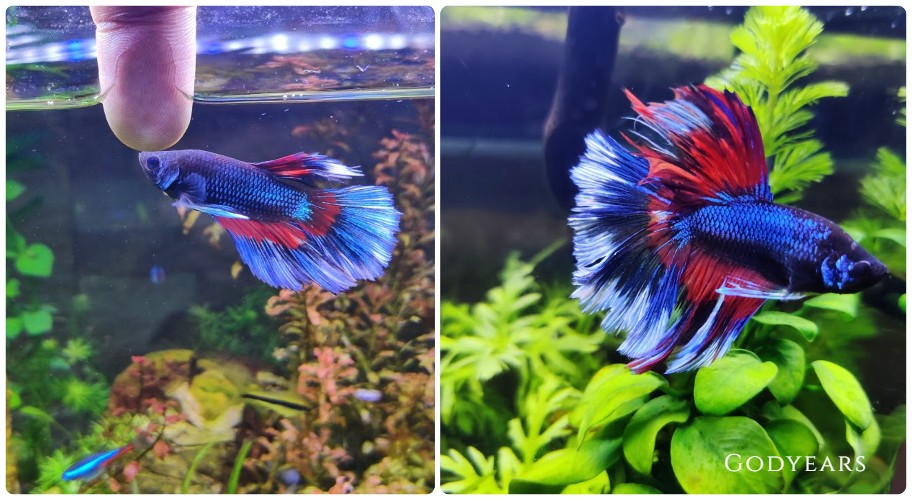 growth of siamese fighting fish