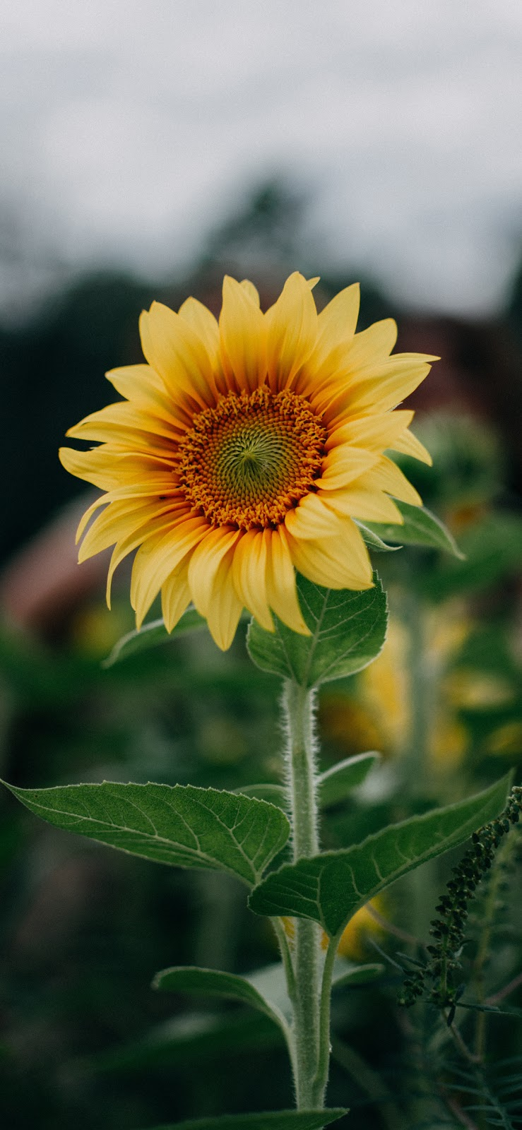 Sunflower wallpaper iphone x