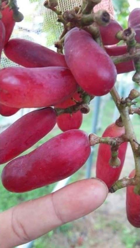 Bibit Anggur import Redjo Pentung Hasil Graffting Sulawesi Tengah
