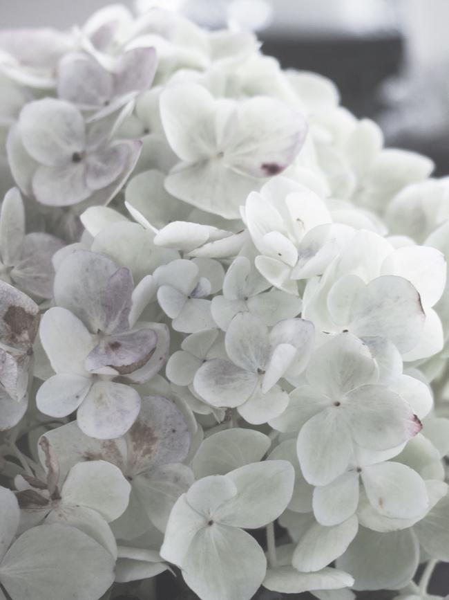 hortensia, kukka, kukkia, valkoinen kukka, jalohortensia, puutarha