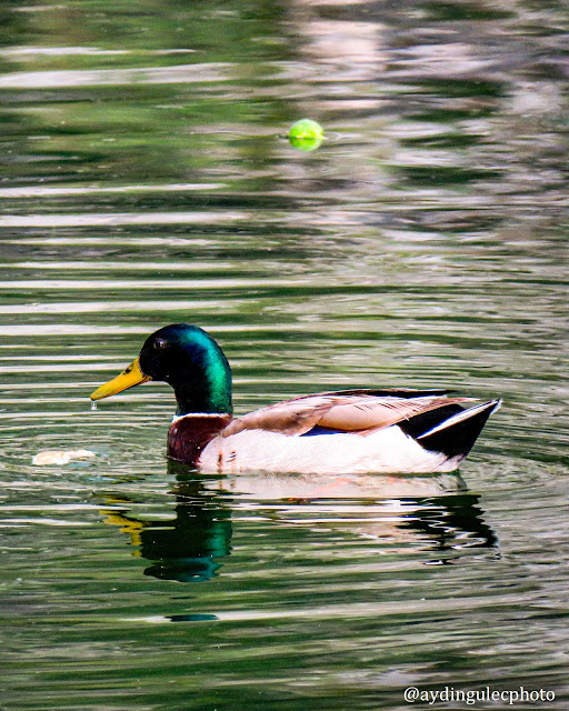 Wild Duck in The Moat of The Fortifications of Kotor
