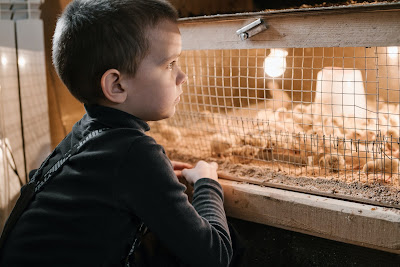 kandang anak ayam kampung