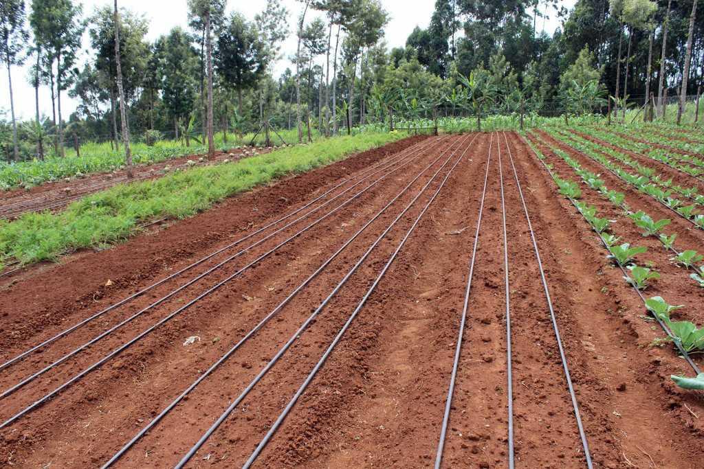 Drip irrigation installation in Kenya