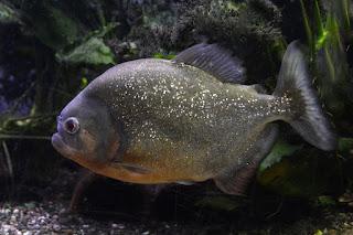 Piranha Fish. पिरान्हा मछली।