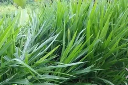 Budidaya Menanam & Kandungan Nutrisi Rumput Odot