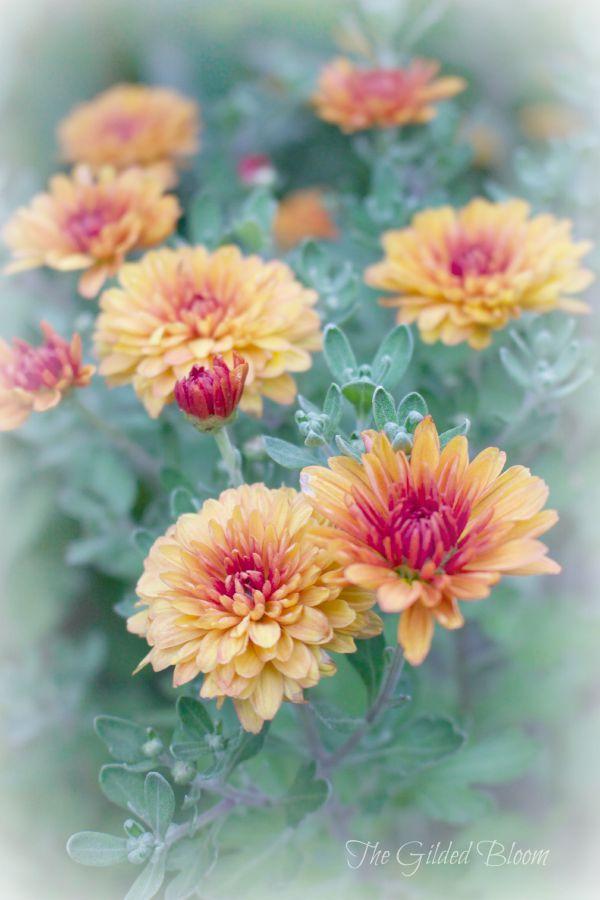 Orange Mums- www.gildedbloom.com #flowers #gardening
