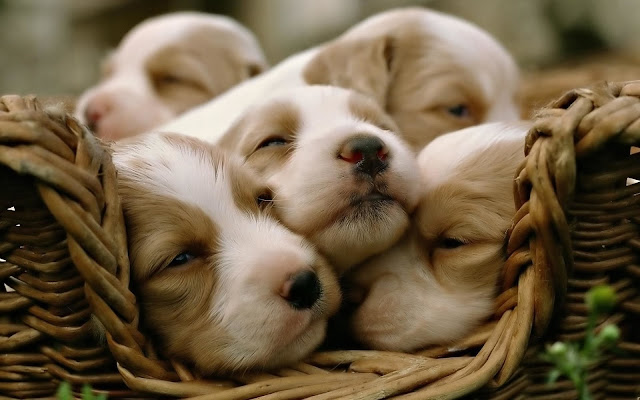 wallpaper background cute puppies
