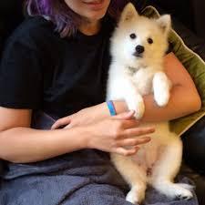 japanese spitz puppy, japanese spitz puppies