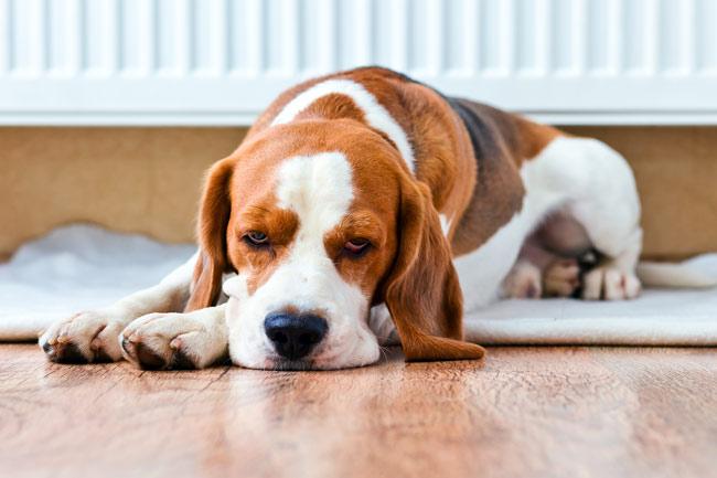 Co zrobić gdy pies wymiotuje?