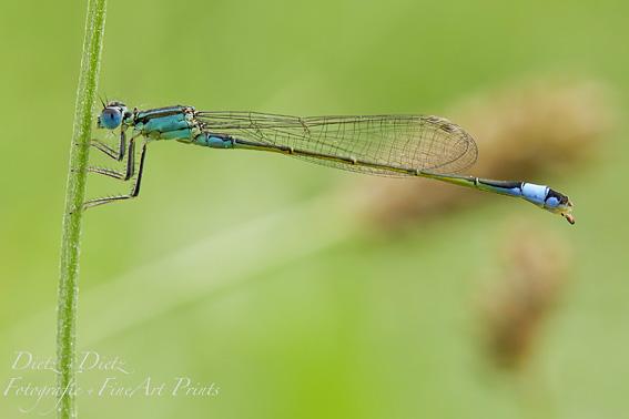 Grosse Pechlibelle (Ischura elegans)