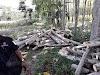 Kuasa Hukum Perkebunan PT. Rotorejo Kruwuk : Pengambilan Kayu Sengon Di Lahan Perkebunan Adalah Pelanggaran Hukum
