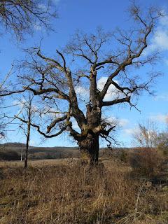 Koldusszállás jellegzetes nagy fája