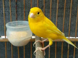 Ciri Ciri Dan Harga Burung Kenari Af Terbaru Saat Ini 2018