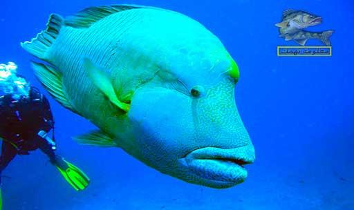 افضل انواع اسماك البحر الأحمر _ سمك نابليون