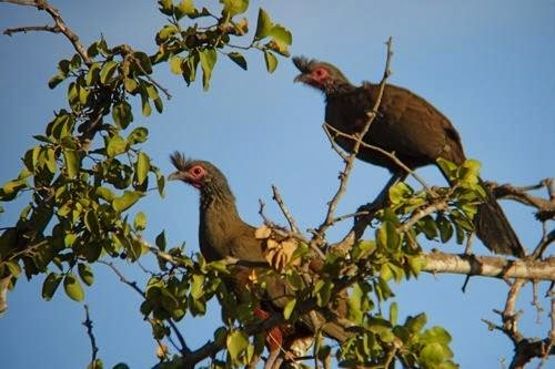 Rufous bellied Chachalaca